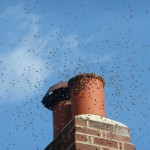 Swarm of bees on chimney pot